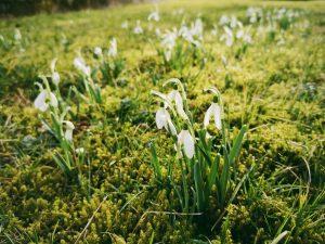 Schneeglückchen im grünen Gras
